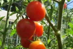 Ambrosia Orange(r)