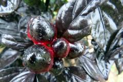Black Pearl(r)