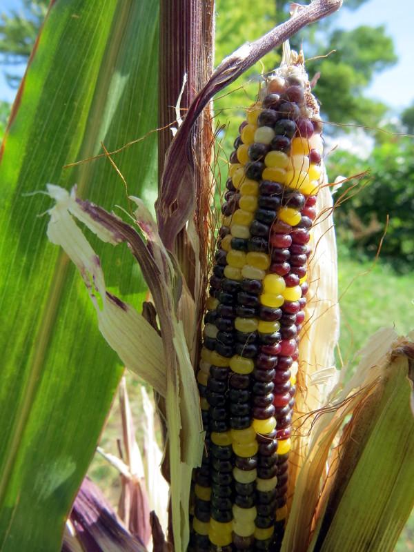 Cave corn on stalk(r)