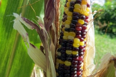 Cave corn on stalk(r)